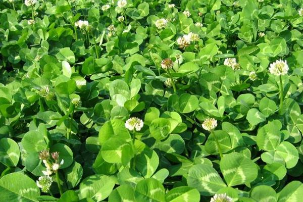 白三叶草种子的播种方法及种植技巧