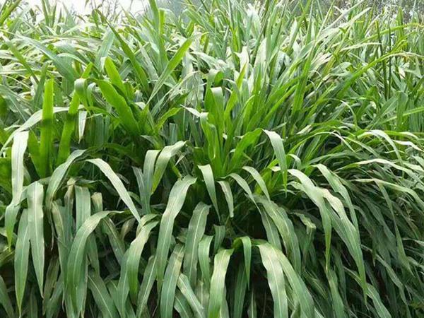 墨西哥玉米草的亩产量是多少