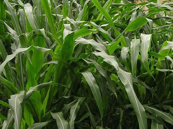 墨西哥玉米草种子怎么种植