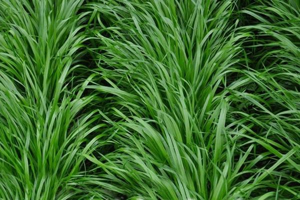 冬牧70黑麦草种子多少钱一斤