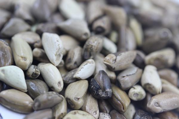 墨西哥玉米草亩播种量多少?如何播种