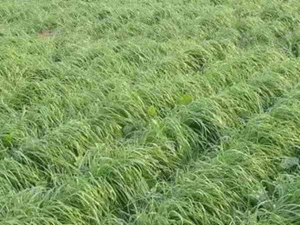 一年生线路特高栽培技术与收割利用