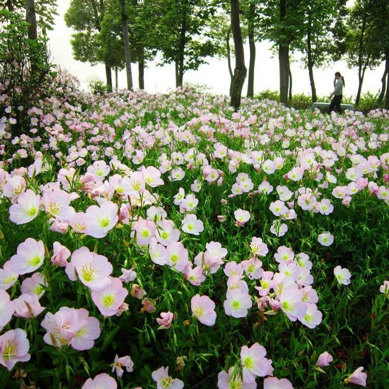 美丽月苋草