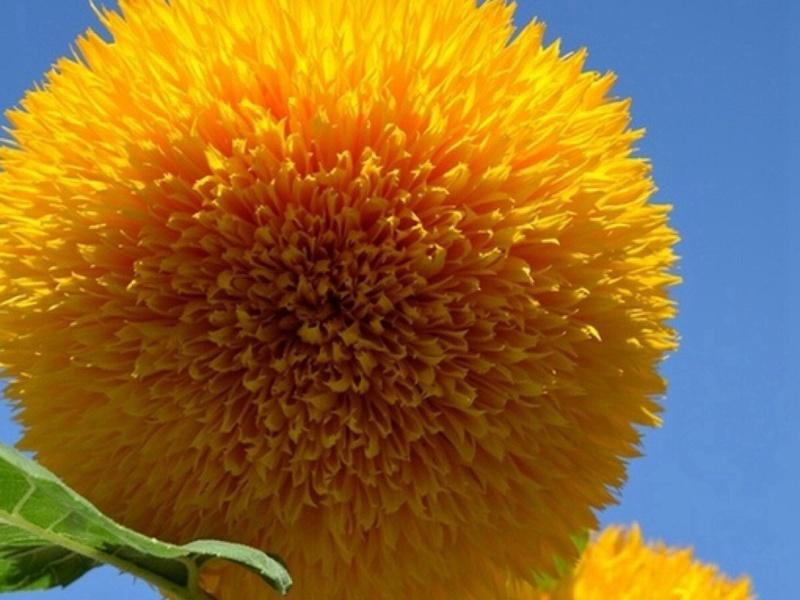 玩具熊向日葵