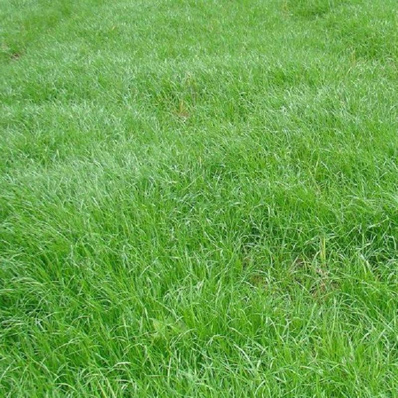 多年生黑麦草.jpg