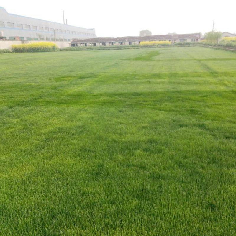 暖季型草坪种子—日本结缕草