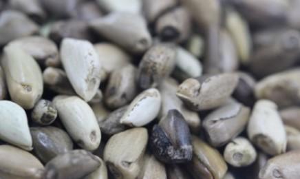 墨西哥玉米草种子价格每亩60元