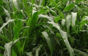 一亩墨西哥玉米草能饲养几头牛