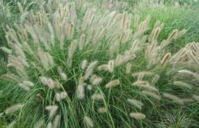 杂交狼尾草的亩产量是多少