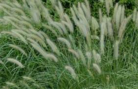 杂交狼尾草可以喂哪些家畜