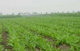 牧草鲁梅克斯种子的种植技术