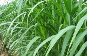 皇竹草好还是高丹草好?有什么区别呢