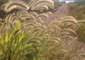 杂交狼尾草种子价格60元每亩