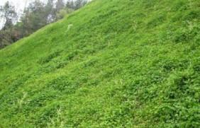 白三叶草的亩产量是多少?高产技巧有
