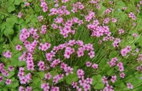 红三叶草种子什么时候播种?什么季节
