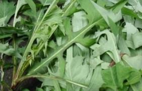 苦荬菜什么时候种植最合适?