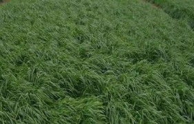 意大利黑麦草的亩产量是多少?有什么