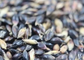 [苏丹草]苏丹草种子批发价格_种植方法