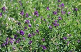一亩地的紫花苜蓿能养多少头牛?