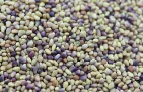 红三叶草种子的催芽方法?如何种植