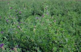 产量最高的饲草有哪些