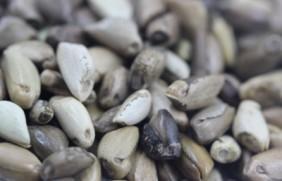 墨西哥玉米草种子亩播种用量?有何播