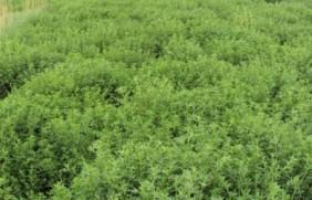 高旱地区饲草品种有哪些