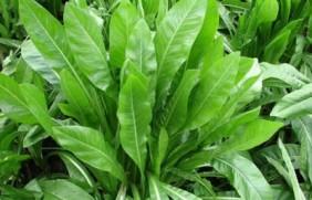 菊苣可以用来作饲草吗