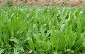 菊苣叶子可以做饲草吗