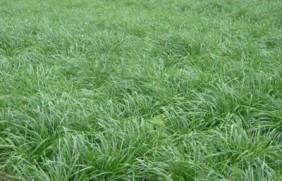 一年生黑麦草的亩产量有多少,有何高