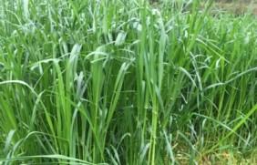 意大利黑麦草一亩地用多少种子,种植