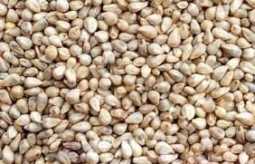 提木西草种子多少钱一斤,哪里有卖