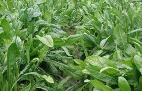 什么饲草适于低洼地种植,它们应该具