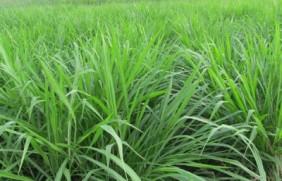 适合北方盐碱地饲草品种