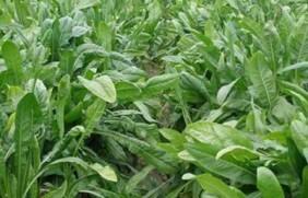 适合北方生长的优质饲草