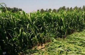 饲草甜高粱可以割几茬,亩产量多少