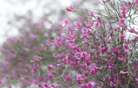 花棒是饲草吗,怎么种植