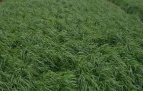 黑麦草冬天还能生长吗,有什么饲用价