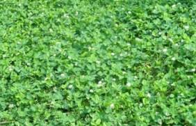 河南适合种植牧草种类有哪些呢