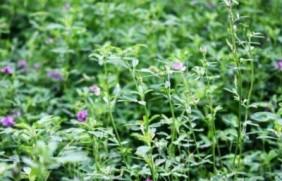 湖南冬天适合种什么牧草,产量高又耐