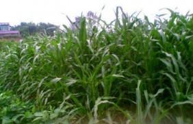 养牛墨西哥玉米草种子