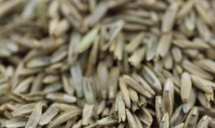 [多年生黑麦草]多年生黑麦草种子价格_图片_种植方法