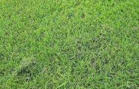台湾草种子