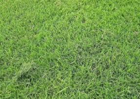 [台湾草]台湾草草坪种子价格_图片_种植方法