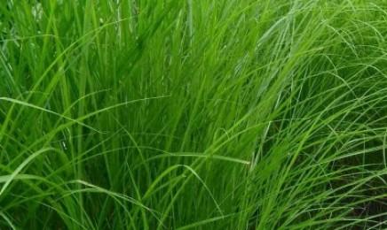 [细叶芒]观赏草坪细叶芒种子价格_图片_种植方法