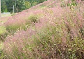 [糖蜜草]观赏草坪糖蜜草种子价格_图片_种植方法