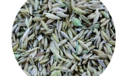 [早熟禾]早熟禾种子价格_图片_种植方法