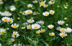 白金菊种子