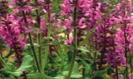 [芳香鼠尾草]芳香鼠尾草种子价格_播种方法_播种用量