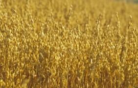 燕麦的种子价格贵不贵,燕麦多少钱一